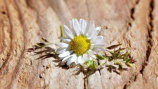 世界に一つだけの花の語源・由来・意味